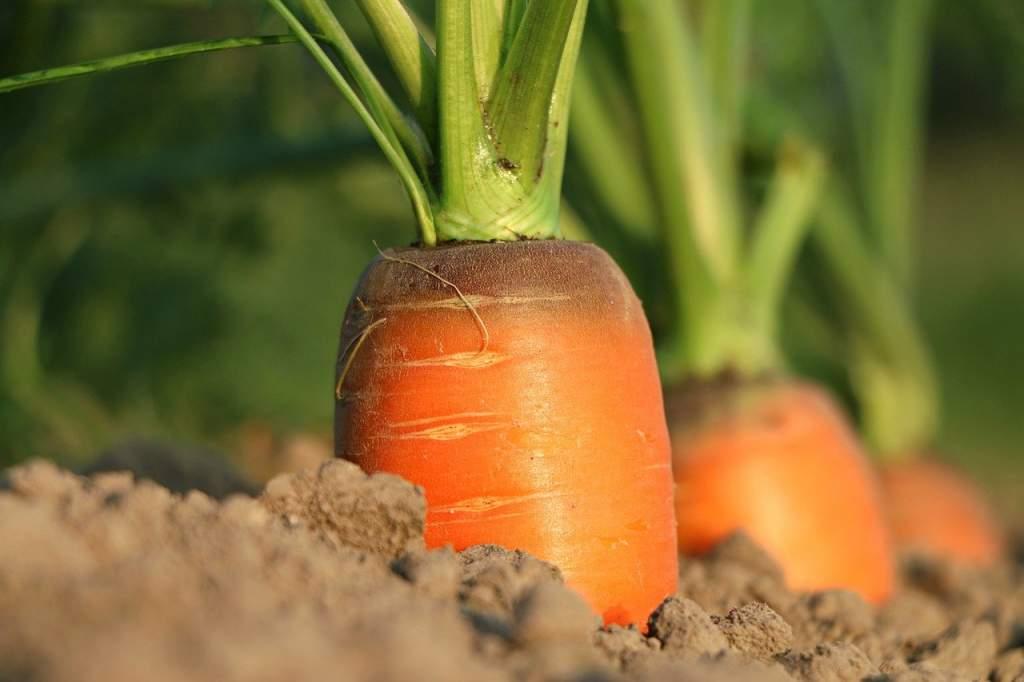 carrot-1565597_1280.jpg