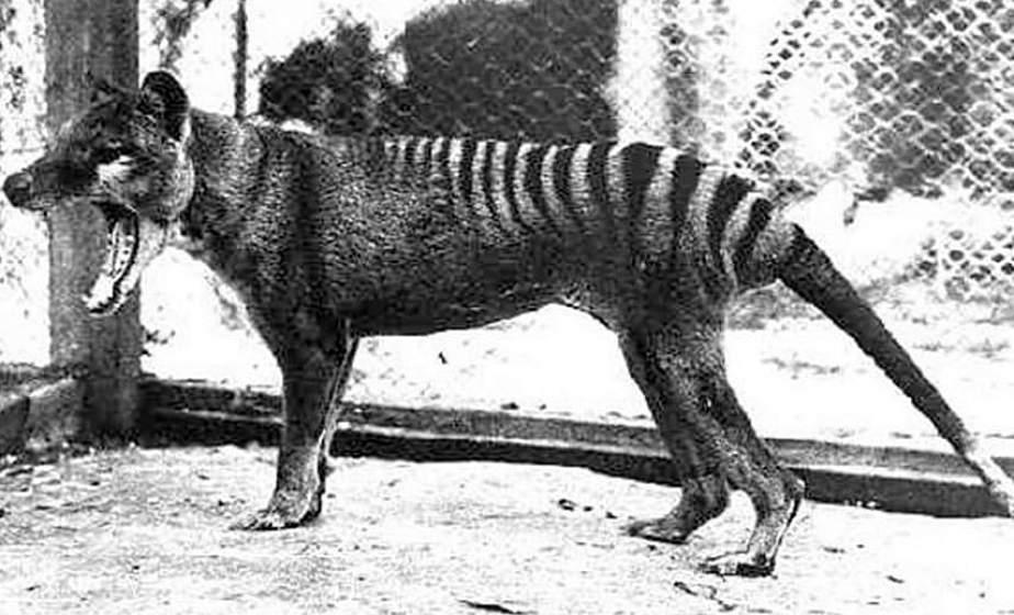 В Австралии встретили животное, которое вымерло 80 лет назад