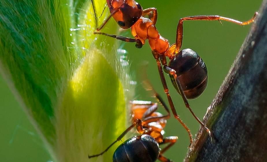 Популярность муравьиных ферм растет в Беларуси