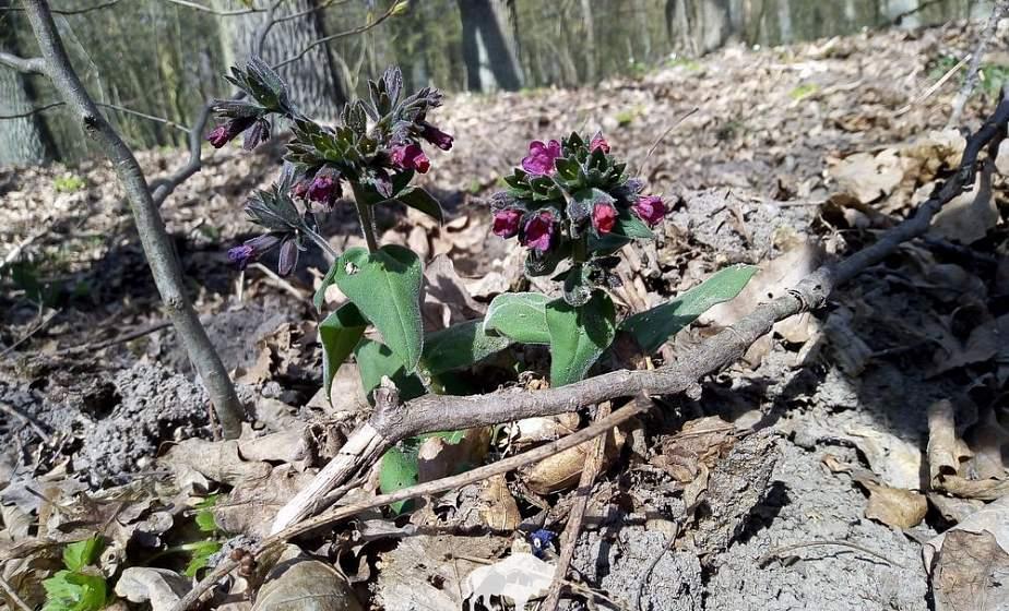 Необычная медуница мягенькая. Как в Беловежской пуще охраняют краснокнижные растения