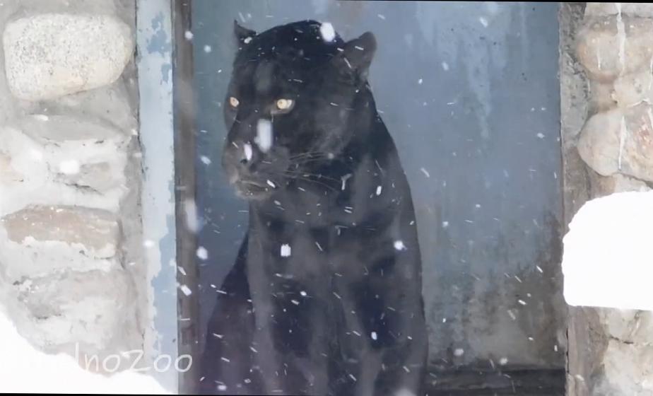 """""""Снежный"""" верблюд и наблюдающая за снежинками пума. Циклон """"Ларс"""" заглянул в зоопарк Гродно"""