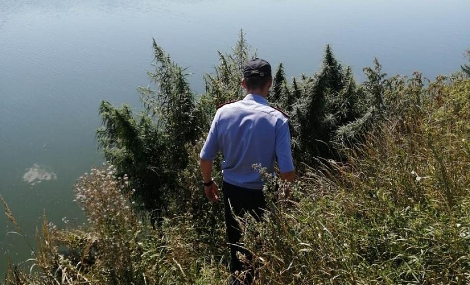 В Мостовском районе уничтожено более 70 килограммов конопли