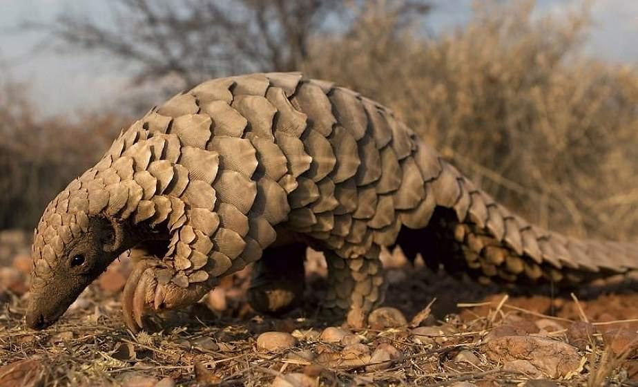Названо животное, которое могло быть переносчиком коронавируса