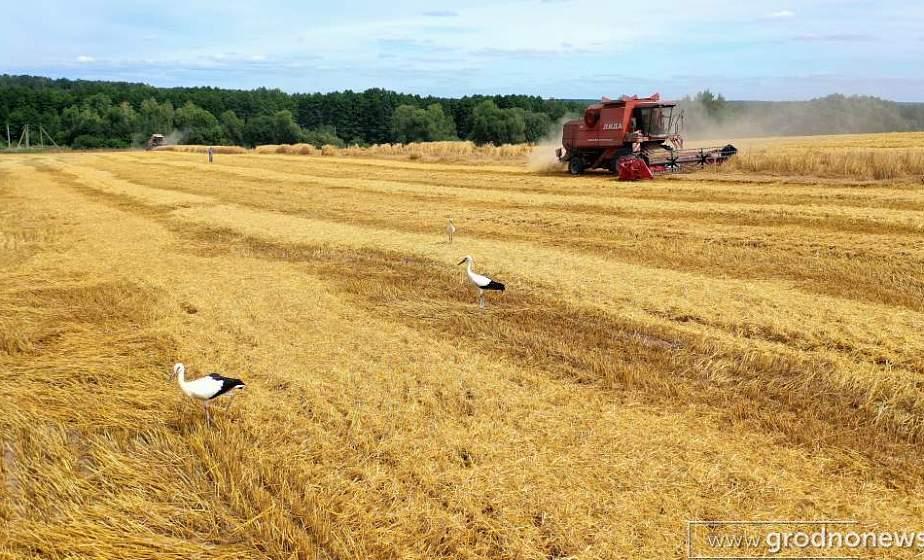 Самая высокая урожайность зерновых - в Гродненской области
