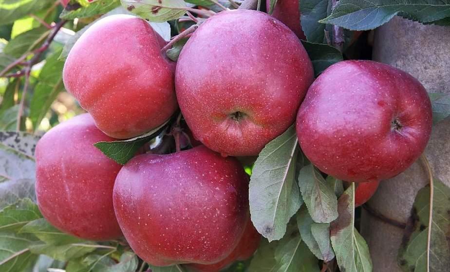 Осень со вкусом яблок. Где выгоднее купить сезонный фрукт и с чем его можно приготовить