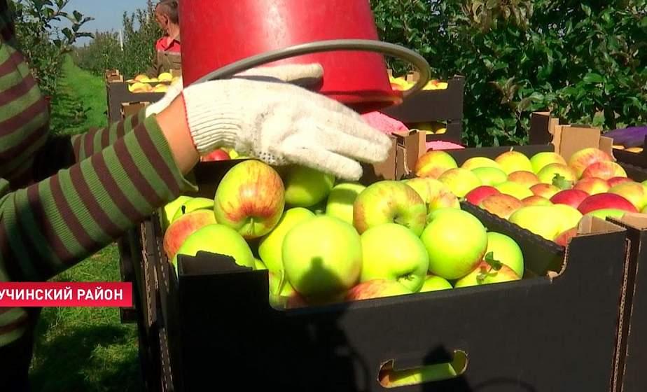 «Зима действительно морозная была». Узнали, как в Беларуси идёт сбор яблок и какой в этом году урожай