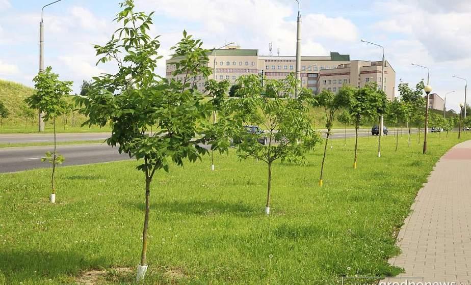 Посади  дерево. Жителей Вороновского района  приглашают принять участие в озеленении своих населенных пунктов и территорий предприятий