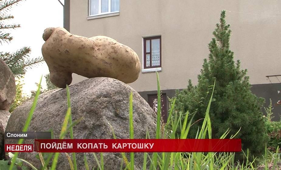 Чудо-овощ побил все рекорды. В Слонимском районе из одной картофелины почти в килограмм весом сделали драники на всю семью