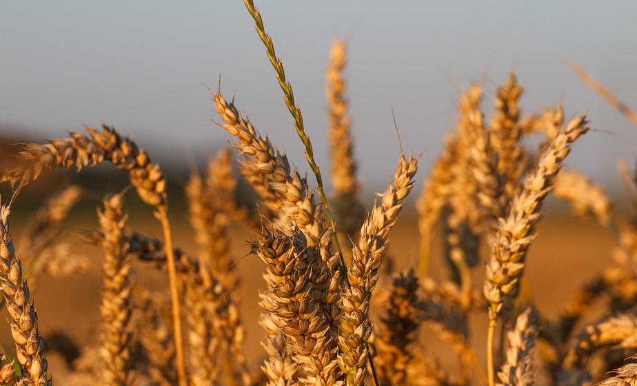 Аграрии планируют завершить уборку зерновых в течение 10-12 дней - Анатолий Хотько