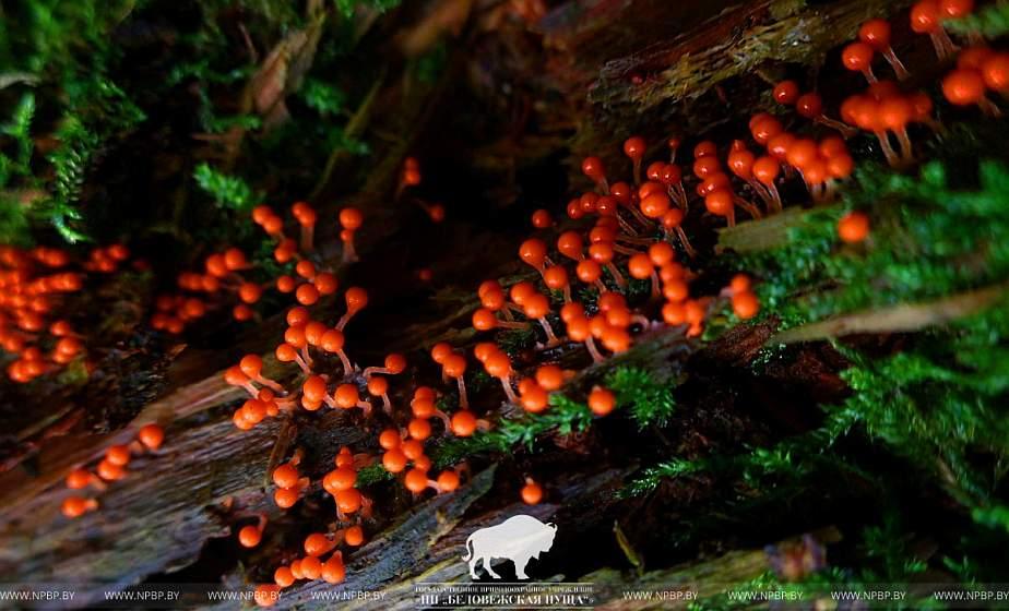 Ни гриб, ни растение, ни животное. Как необычный экземпляр живет в Беловежской пуще