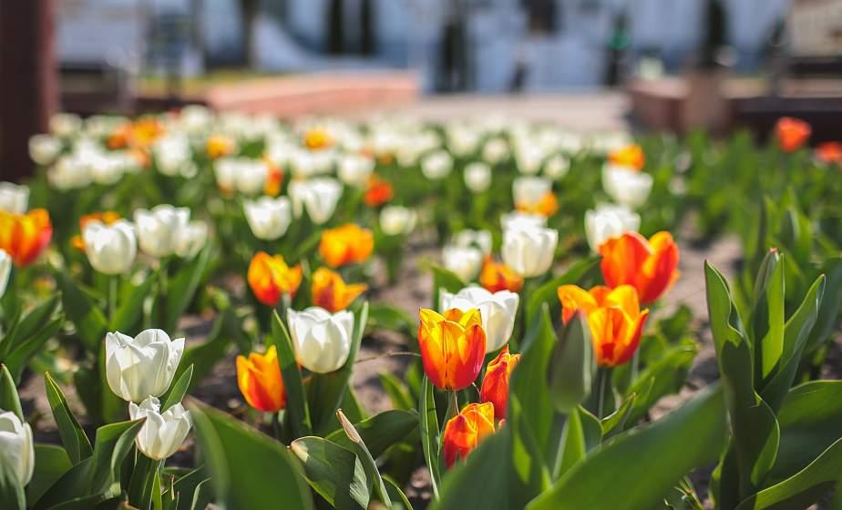 Нежные маргаритки, яркие тюльпаны и белые облака вишен. Как цветет весенний Гродно