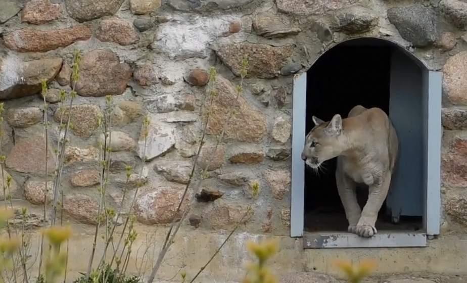 Пума Раджа сменил прописку: питомец Гродненского зоопарка переехал в новый вольер