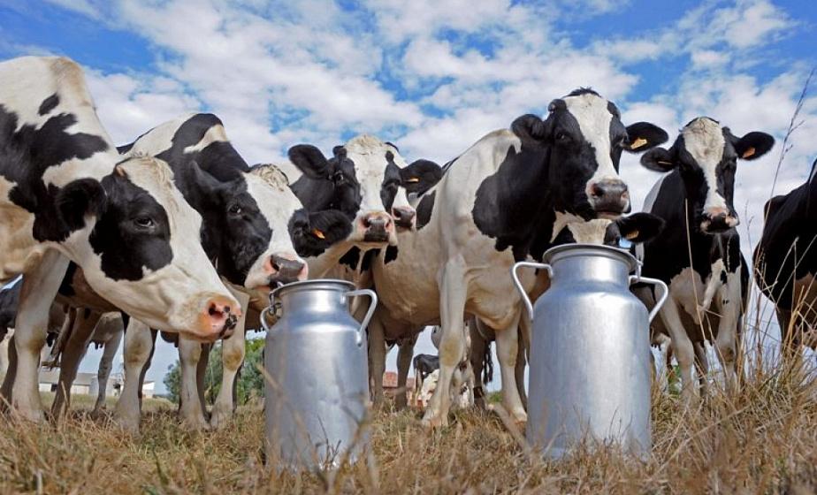 Гродненский район может стать лидером страны по удоям молока