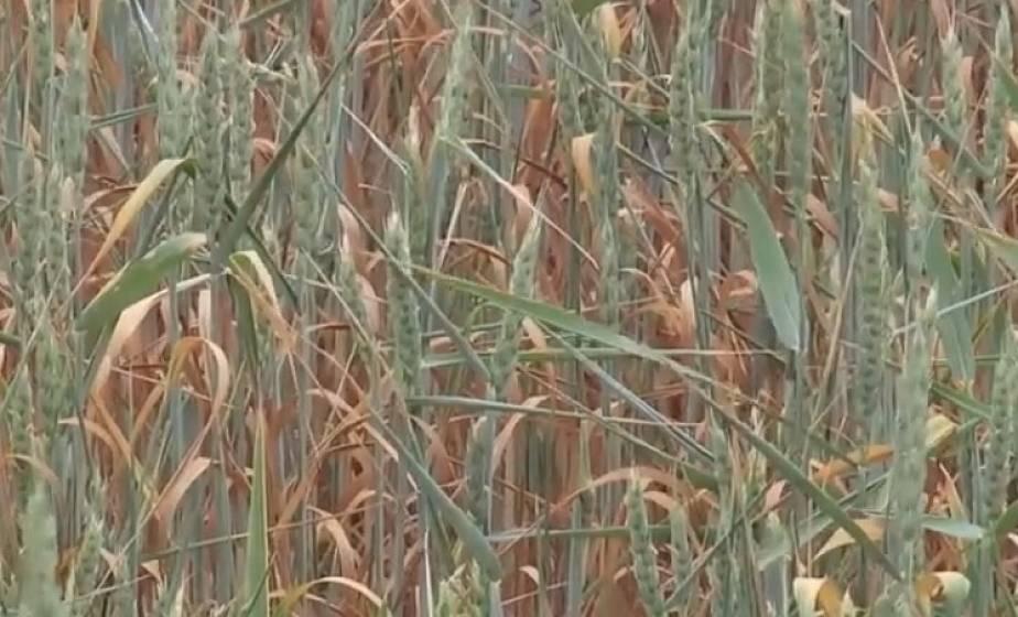 В Гродненской области высохли сотни гектаров зерновых