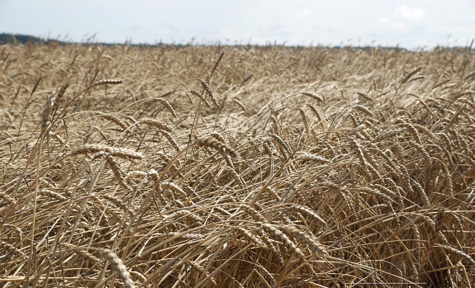 Хлеборобы Гродненщины намолотили 1124 тысяч тонн зерна