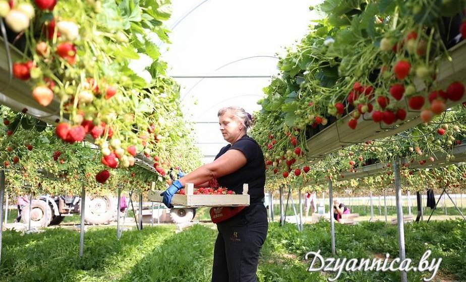 """В чём секрет клубничного бизнеса и сколько можно заработать на сборе этой ягоды, рассказали специалисты СООО """"Клубника Плантс"""""""