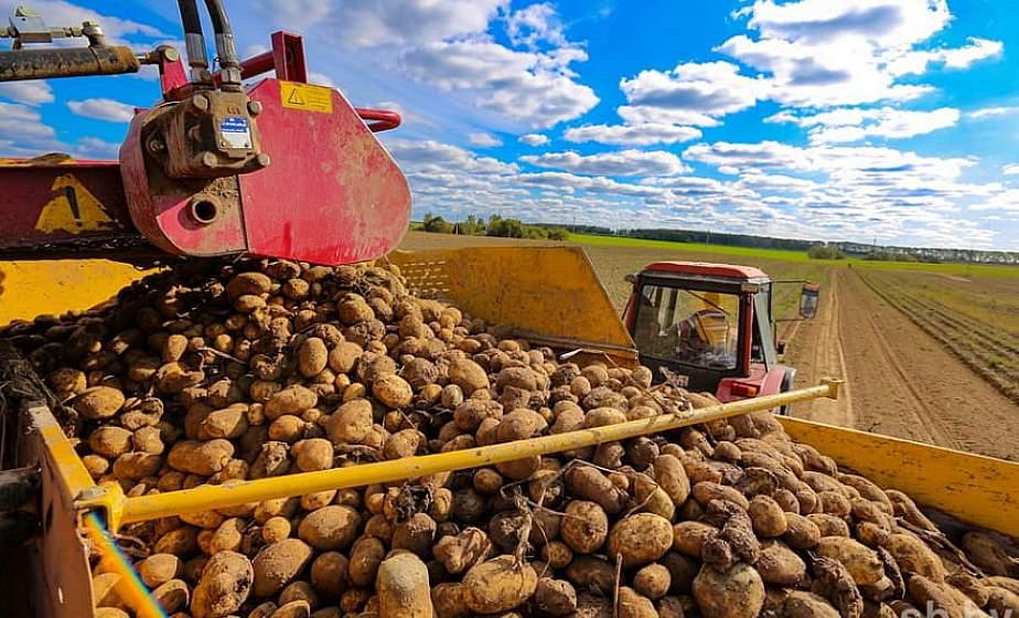 В Беларуси осталось убрать 1 % площадей картофеля