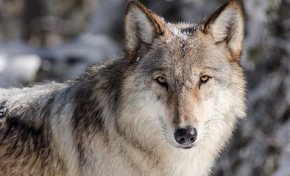 Минлесхоз: численность волка должна находиться под контролем