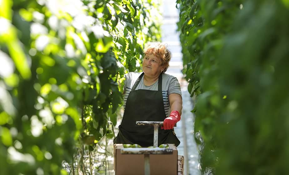 Огурцы, перцы и баклажаны. Как в Гродно выращивают овощи нового сезона