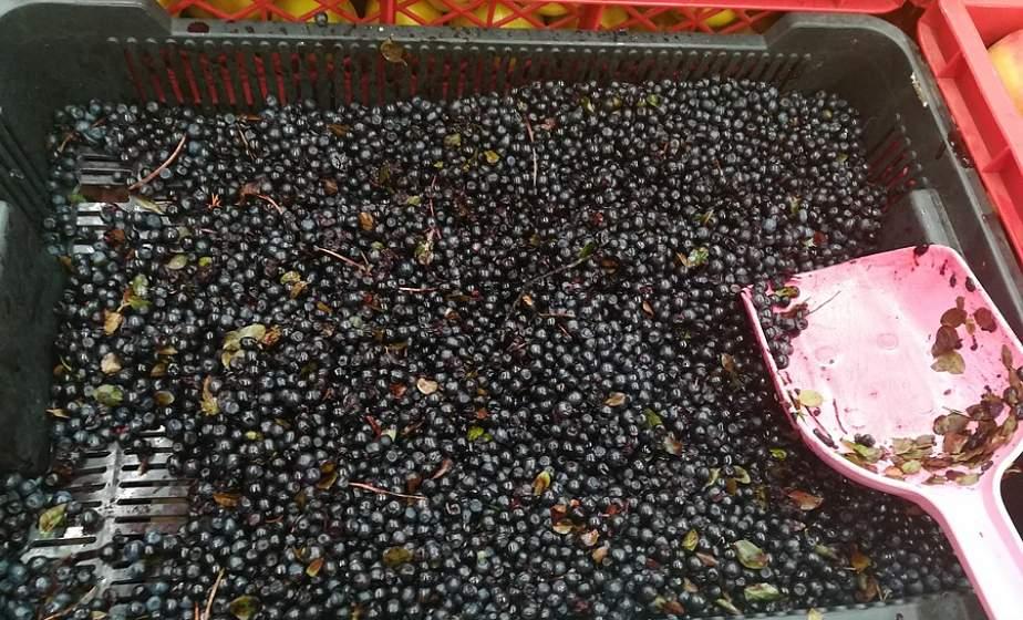 Ягодка к ягодке – и можно заработать. Минлесхоз разрешил применение ягодных комбайнов. Что нужно знать?