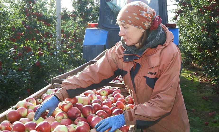 Яблочный год. 39 тысяч тонн яблок планируют собрать в хозяйствах Гродненщины