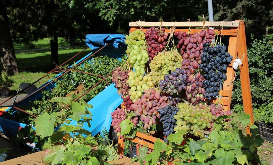 Виноград, голубика, актинидия. Выставка-ярмарка «Виноград-2020» проходит в Гродно 17-19 сентября