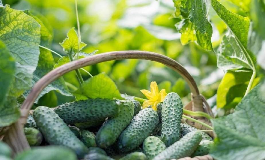 Как ухаживать за огурцами, чтобы получить щедрый урожай