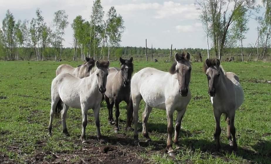 Тарпановидных лошадей из Налибокской пущи могут расселить в другие регионы