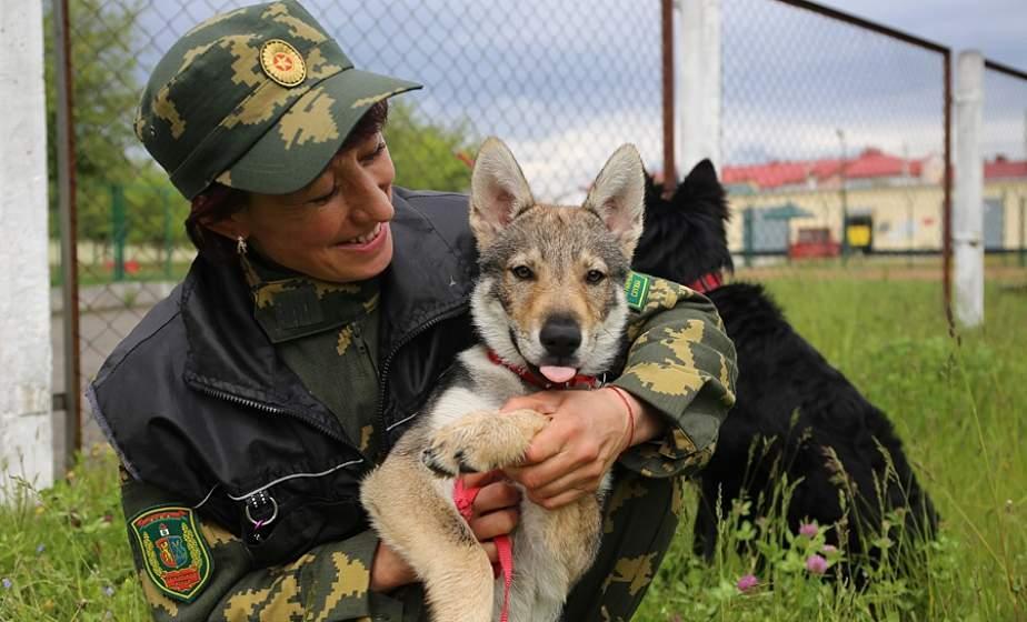 Нюх на «наркотические» преступления. В Лидском погранотряде обучение к несению службы проходит трехмесячный волчонок Стелла