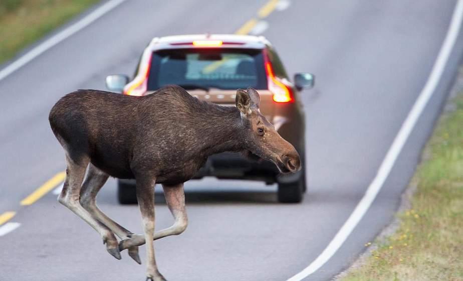 Животные тоже попадают в аварии. В Гродненском районе произошло ДТП с участием лося