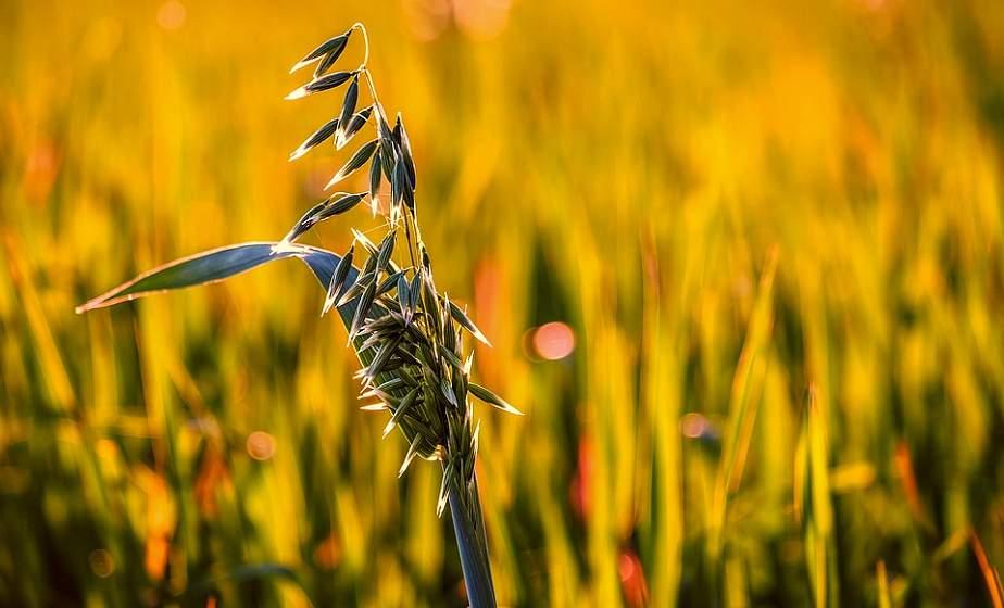 Санитары  почвы: зачем выращивать сидераты на участке