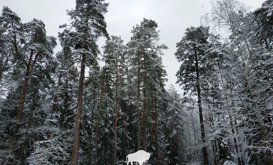Сугробов не было два года! В Беловежскую пущу пришла настоящая зима
