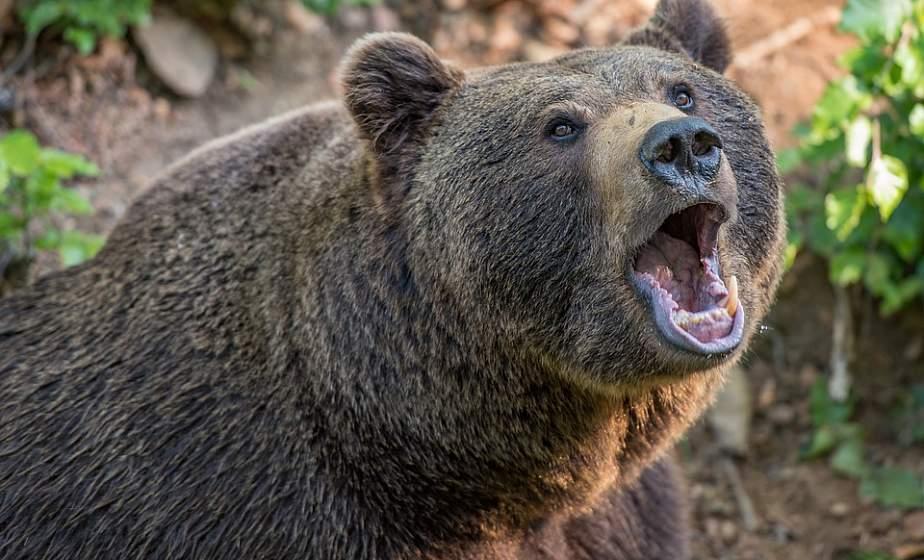 Медведей в белорусских лесах стало втрое больше – Минлесхоз
