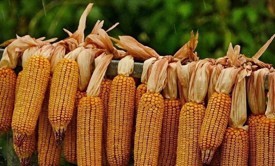 В Беларуси намолочено более миллиона тонн кукурузы на зерно