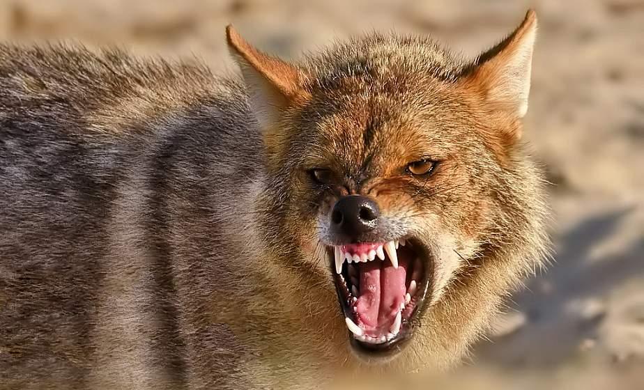 Золотистый шакал, лисица и енотовидная собака. На каких животных разрешено охотиться с 1 января 2021 года?
