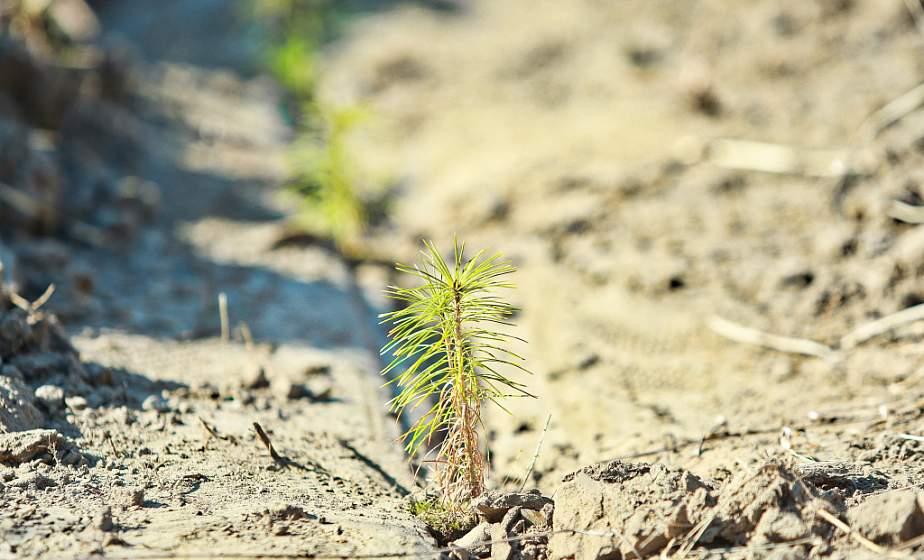 В Гродно на «Неделе леса» наведут порядок во всех городских лесах и высадят около 200 молодых сосен в районе улицы Томина