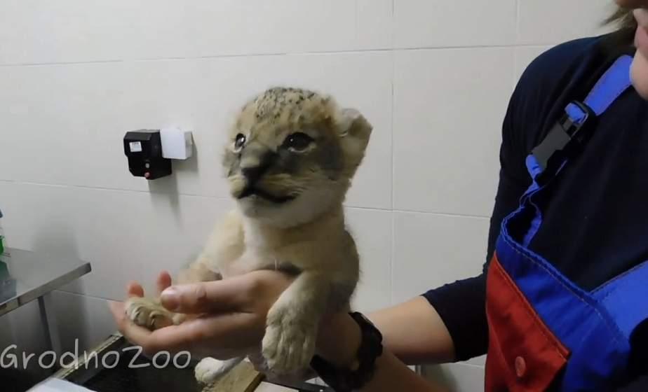 Бэби-бум в зоопарке продолжается. У известных львов из Гродно Джонни и Персеи родился малыш
