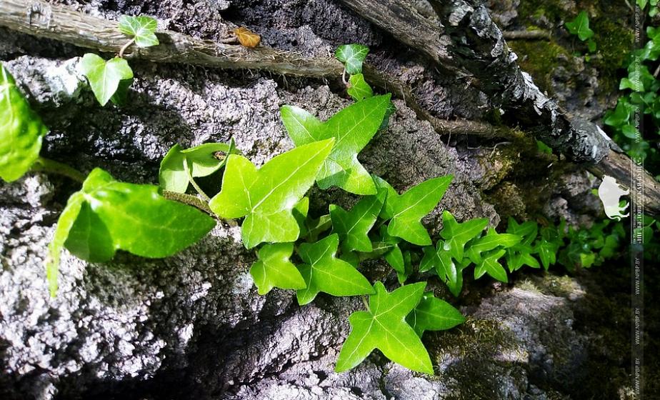 В Беловежской пуще нашли лес, увитый реликтовым плющом