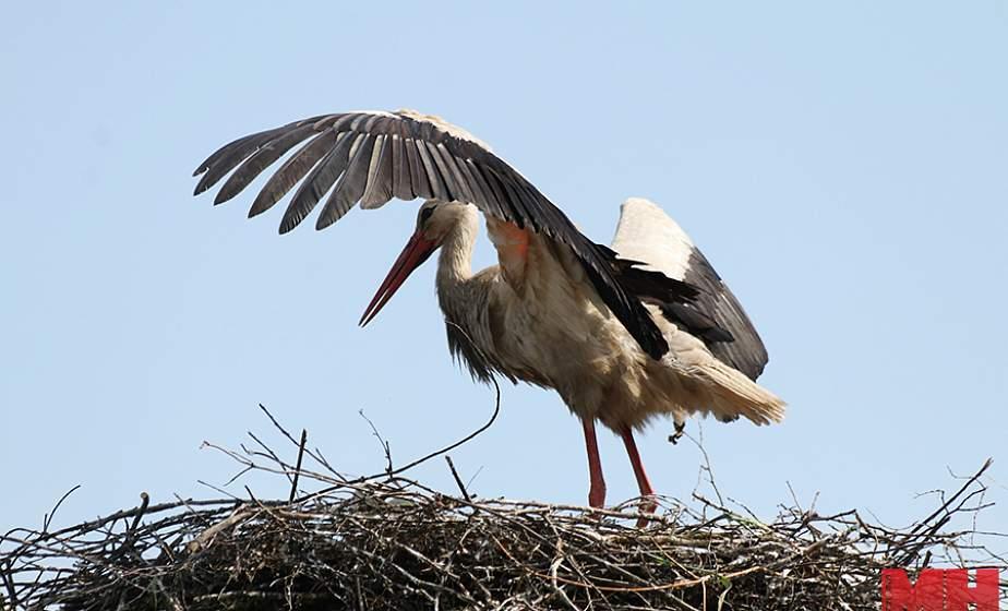 Чаще всего белорусы видят аистов. Стали известны итоги международной кампании по наблюдению за птицами
