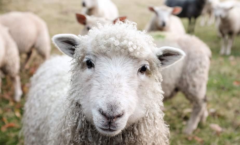 В Лидском районе у мужчины украли овец и съели. Кости и шкуры животных закопали